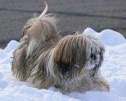 Rein dysplasie chez les chiens