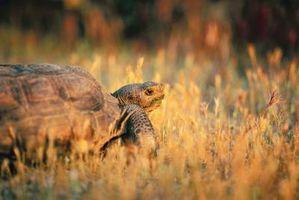 Qu'est-ce que l'habitat de la Tortue de désert Progéniture