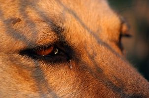 Infected Eye Care for Dogs