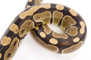 Comment Tan une peau de serpent il est donc encore flexible