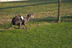 Les chiens qui courent vite