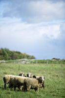 Techniques tonte des moutons