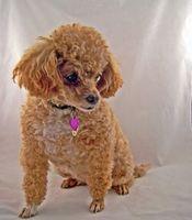 Pourquoi Ne caniches miniatures chiens se Saisies?
