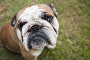 Chirurgie Entropion pour chiens