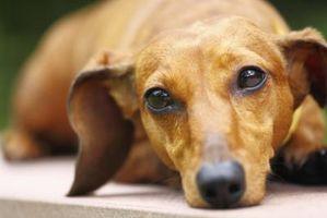 D'une glycémie normale pour les chiens