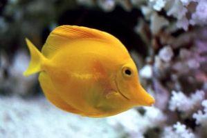 Comment introduire de nouveaux poissons aux anciens
