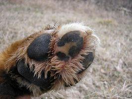 Paws propos douloureux chez les chiens