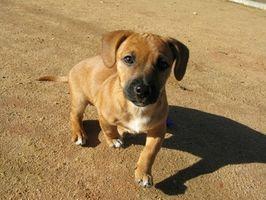 Cancer Crus chez les chiens