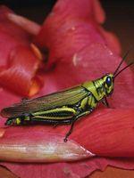 Quelles sont les caractéristiques les fourmis ont que les sauterelles ne avez pas?