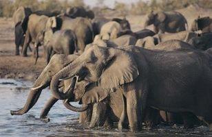 Caractéristiques internes des éléphants Africains