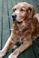 Diet Maintenance pour les chiens avec insuffisance rénale