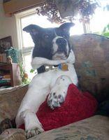 Quels sont les traitements pour les infections à levures chez les chiens?