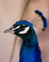 Quels sont certains des caractéristiques uniques qui Peacocks Demandez à la naissance?