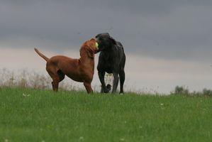 Pourquoi les chiens ont besoin de la Prise de vue appelé Bordetella?
