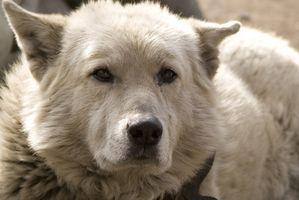 Les causes de la toux sévère chez les chiens