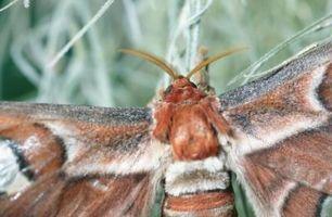 Comment identifier un Leopard Moth Caterpillar