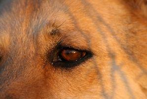 Accueil recours pour Eye Cherry chez les chiens