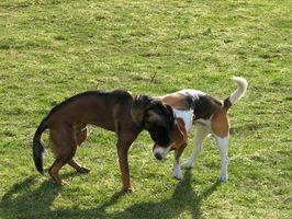 Lymphome chez les chiens