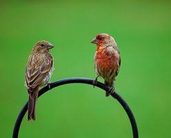 Comment se débarrasser des puces si vous avez de petits oiseaux
