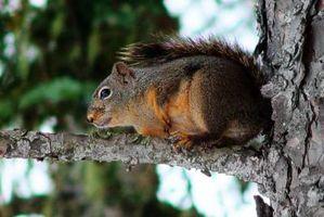 Comment prendre soin d'un écureuil Pelt