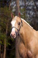 Comment inscrire un Quarter horse