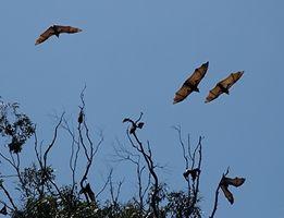 Quels sont certains faits sur Flying Foxes?