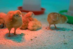 Comment construire un Egg Incubator poulet