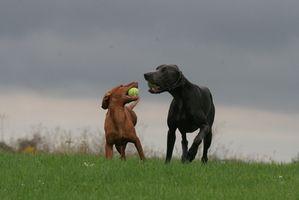 Maladies intestinales communes chez les chiens