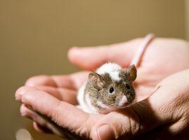 Comment faire pour contrôler la variabilité dans les niveaux de testostérone chez les souris