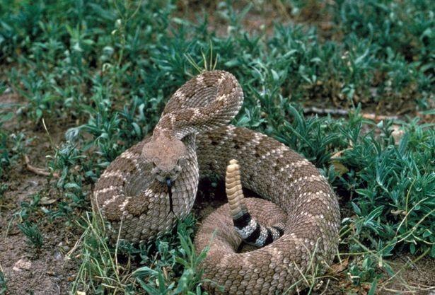 comment reconna tre les sympt mes d 39 une morsure serpent venimeux. Black Bedroom Furniture Sets. Home Design Ideas