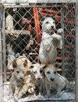 Quel est le calendrier régulier des vaccins pour les chiens?