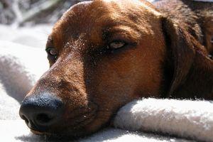 Causes d'un sang Canine Vomissements