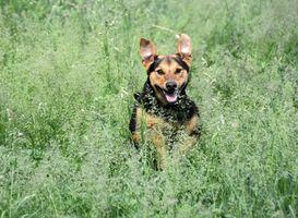 Neck Cancer chez les chiens