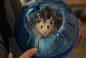 Comment Décourager un Teddy Bear Hamster de mordre sa cage