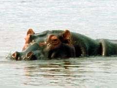 Que fait un Hippo Eat?