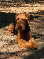 Canine sont ténias contagieuse?