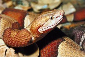 Comment identifier une espèce de serpent sauvage dans l'Illinois