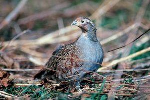 Que fait un Partridge Eat?