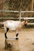 Les signes de la grossesse à deux mois chez les chèvres