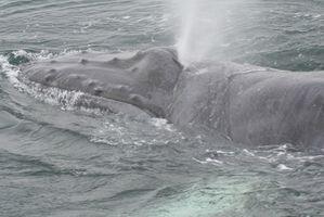 Comment les baleines survivre dans l'eau salée?
