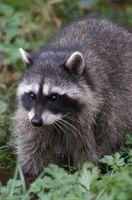 Raccoon vers ronds chez les chiens