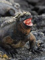 Info Î.-P. Galapagos marine Iguana