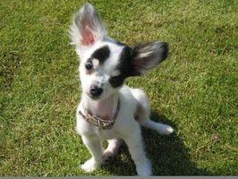Comment prendre soin d'un Chihuahua avec des puces