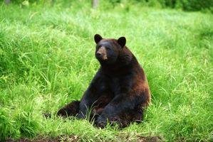 Les sept niveaux de la taxonomie de l'ours noir