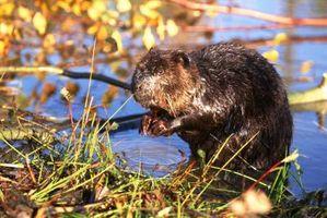 Que fait un Beaver Eat?