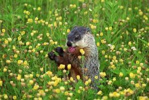 Qu'est-ce qu'une marmotte manger?