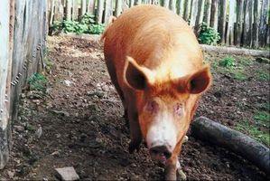 Procédure pour massicotage Hoofs porcs