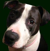 Axial ostéosarcome chez les chiens