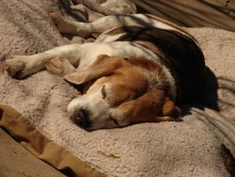 Étapes de la rage chez les chiens