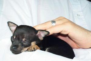 Puppy Hypoglycémie Symptômes